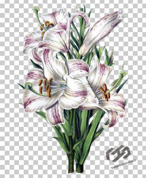 گل بدون پس زمینه